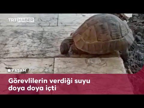 Diyarbakır'da susayan kaplumbağa TRT Radyo Verici istasyonu'na sığındı