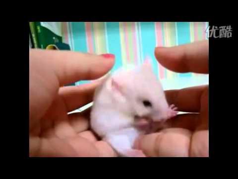 小倉鼠被嚇呆了!!!