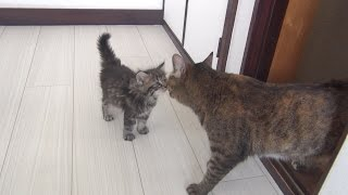 猫 子猫 9匹『子猫と9匹の猫か?初めて会った日 Kitten met 9 cats for the first time』などなど