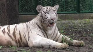 Surat zoo gets white tiger couple for 1st time - ANIINDIAFILE
