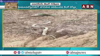 World Biggest King Cobra Caught on Camera   Himachal Pradesh   ABN Telugu - ABNTELUGUTV