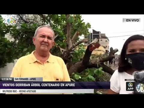 Apure - Vientos derribaron un árbol de 104 años - VPItv
