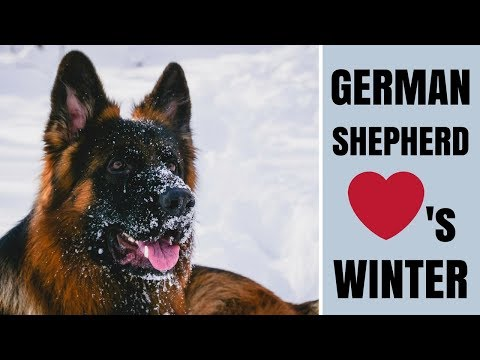 Dog Playing In The Snow! Our German Shepherd (Togo) Loves Winter!