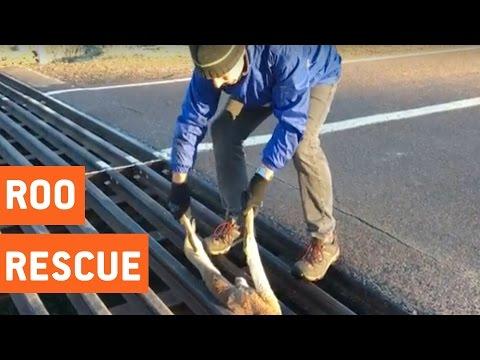Good Samaritan Rescues Baby Kangaroo | Good On Ya Mate