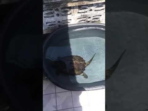 เต่าอริเกเตอร์--(alligator-sna