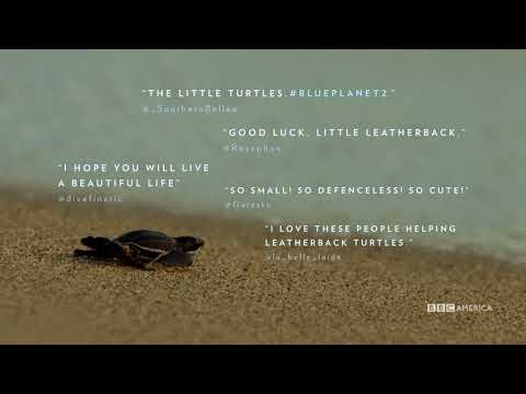The Cutest Baby Leatherback Turtles | Planet Earth: Blue Planet II | Final Episode Saturday @ 9/8c