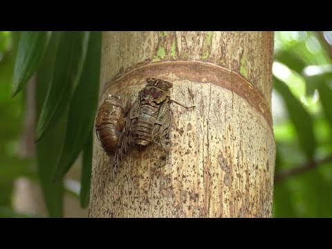 Cicadas | The loudest insects in the world