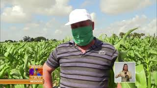 Cuba: extienden cultivo de maíz en Pinar del Río