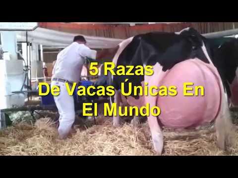 5 Razas De Vacas Únicas En El Mundo