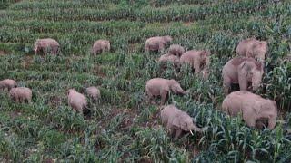 Manda de elefantes devasta cultivos en pueblos de China