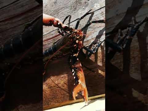 ล็อบสเตอร์-#Lobster-ไม่ใช่กุ