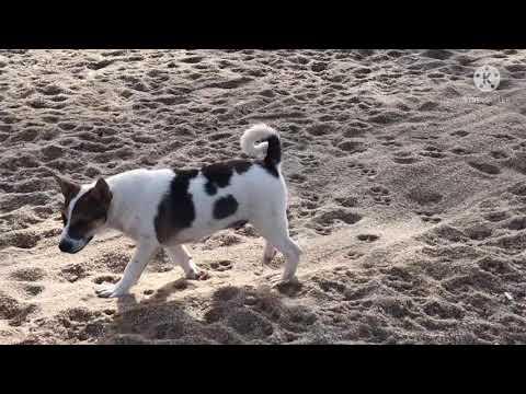 สุนัขชายทะเล