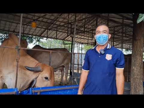 อาหารวัวลดต้นทุน-มันหมักยีส-จา