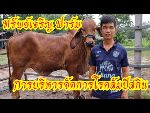 วัวบราห์มันแดงลูก-CY096-พร้อมก
