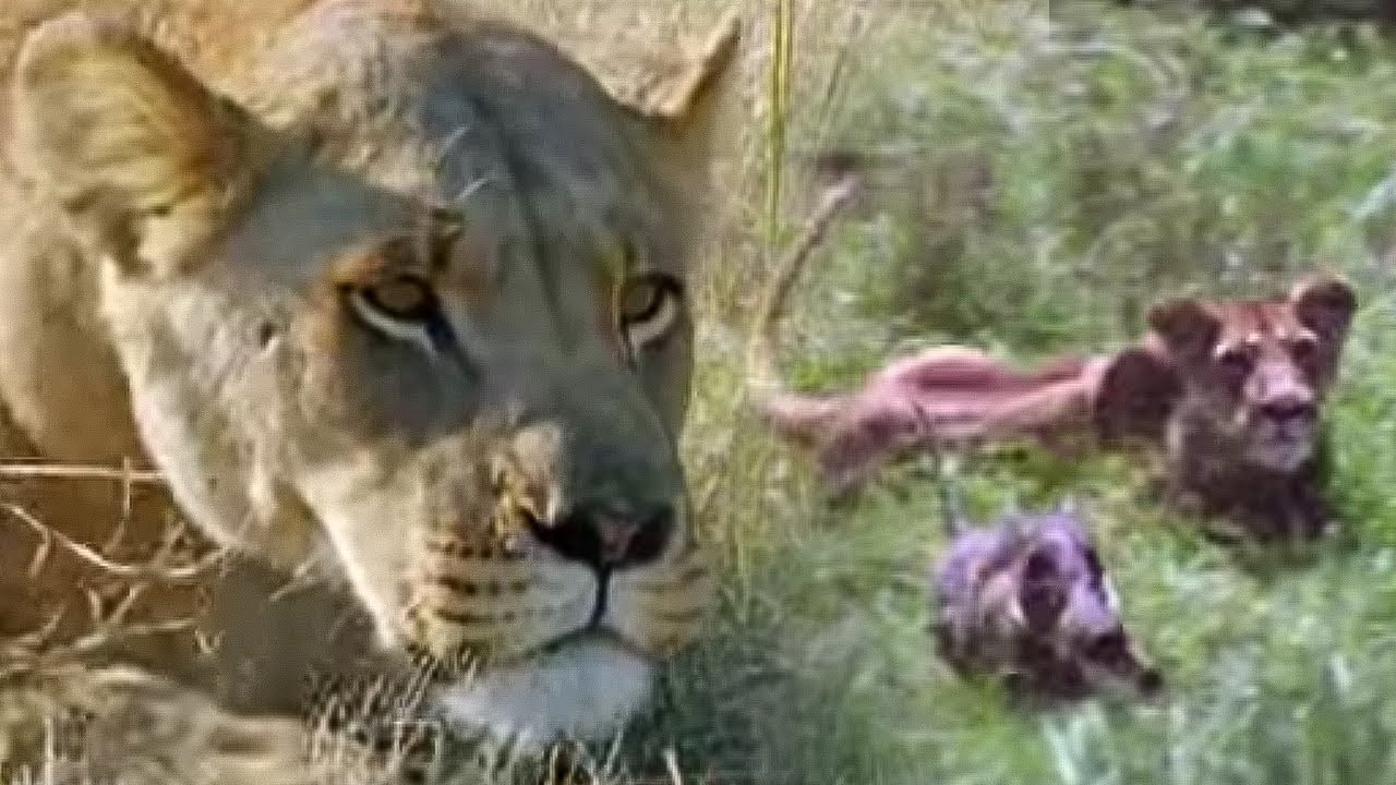 Hunting Lesson - Wildlife Specials: Lions - Spy in the Den - BBC