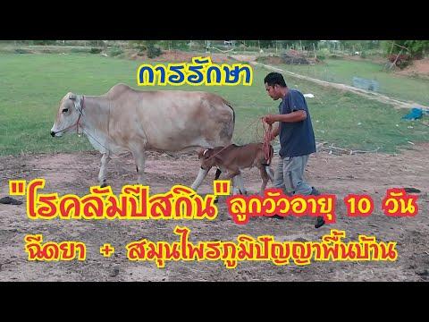 โรคลัมปีสกิน-การรักษาลูกวัวอาย