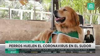 Coronavirus Chile | Los perros que detectan el covid-19