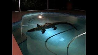 تمساح يفاجئ رجل في منزله