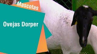 Las hermosas ovejas Dorper | Mascotas