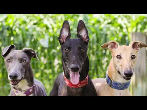 SECRET SANTA! Dog.com gives back to Greyhound Pets of America - Canada chapter!