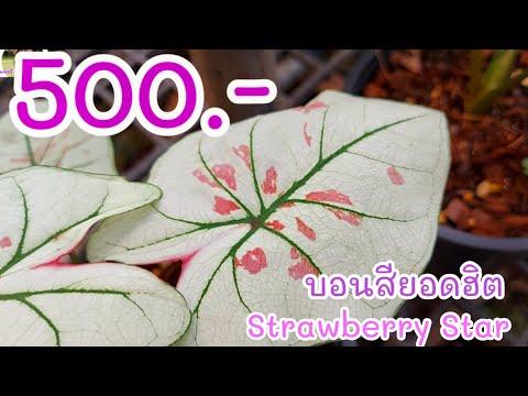 บอนสี-Strawberry-Star-ไม้ด่างท