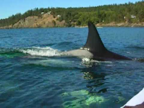Kayaking with Killer Whales in the San Juan Islands