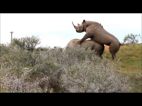 Rhino Mating | Ranger Diaries | Tootabi International