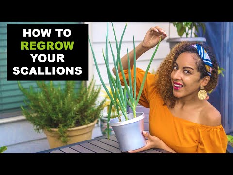 HOW TO REGROW SCALLIONS FROM SCRAPS | Zero Waste Food Tutorial + Harvest