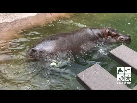 Baby hippo born at ABQ BioPark
