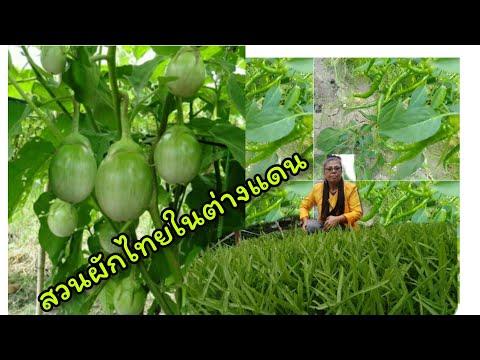 สวนผักไทยในต่างแดน-ถึกฝนกำลังง