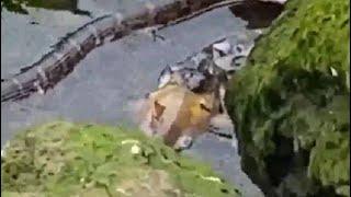 Video: सांप ने अपने नाश्ते के लिए किया मछली का शिकार - NDTVINDIA
