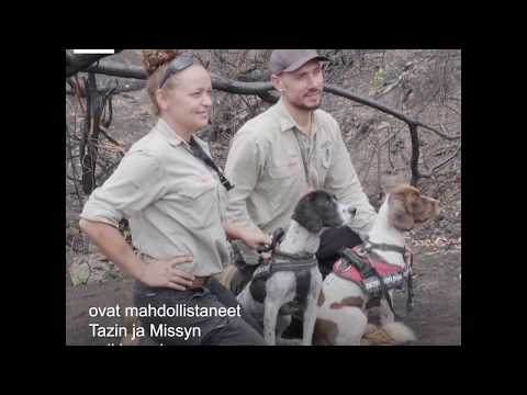 Erityiskoulutuksen saaneita koiria käytetään etsimään Australian tuhoisista metsäpaloista eloonjääneitä koaloita, jotta niiden kunto voidaan tarkastaa ja niille voidaan jättää juomavettä.