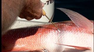 Mustad Fish Venting//Fizzing Tool Grouper Snapper Saltwater Gamefish Ventilator