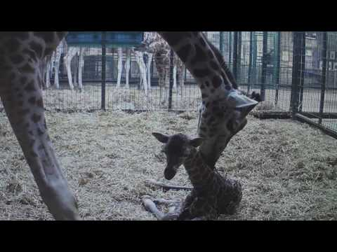 Stunning CCTV footage captures moment rare giraffe calf is born at Chester Zoo