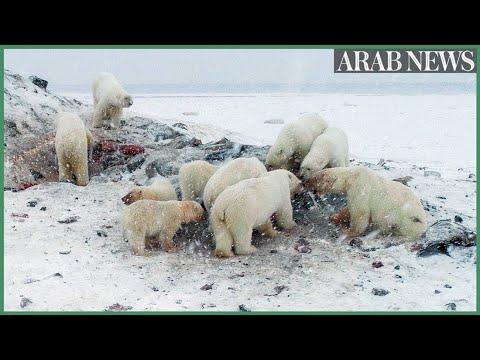 Weak Arctic ice sees polar bears descend on Russian village