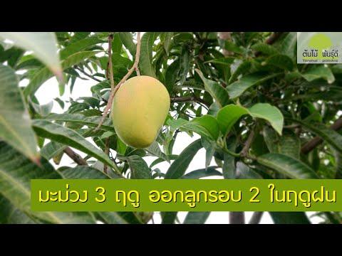 มะม่วง-3-ฤดู-ออกลูกรอบ-2-ในฤดู