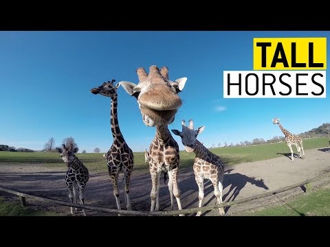 Giraffes are Awesome || JukinVideo