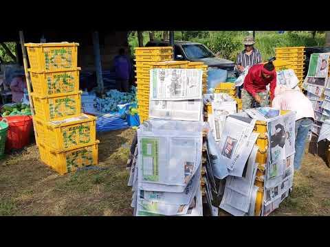 เก็บมะละกอส่งตลาดไท-ประเดิมฤดู