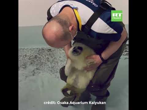 Japon : l'adorable premier plongeon d'un bébé phoque