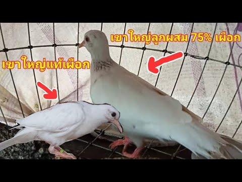 นกเขาใหญ่เผือกลูกผสม-75%-(นกเข