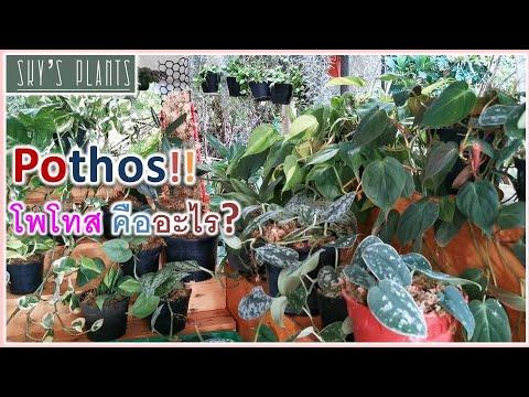 Pothos-คืออะไร-พลูมีกี่ประเภท-