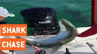 Tarpon Chased By Huge Hammerhead Shark