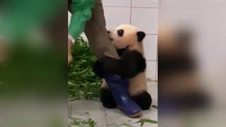 Un oso panda muy cariñoso
