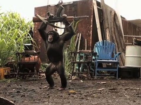 Video: Jie naiviai tikėjosi - Jog gali pasityčioti iš beždžionės..