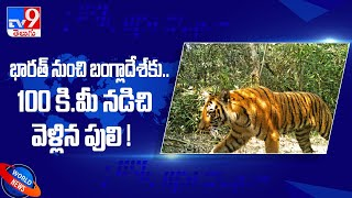 Tiger covers 100km in 4 months to reach Sundarbans in Bangladesh from Indian forest  - TV9 - TV9