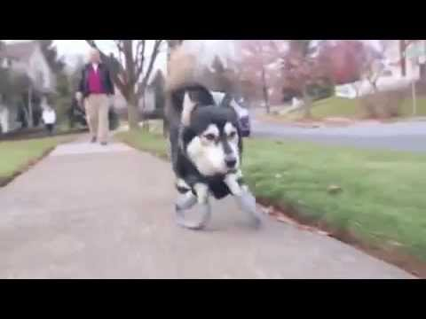 connectYoutube - amazing 3d printed prosthetics let this dog run for the first time