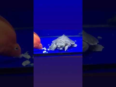 เต่าหมูบินกินกุ้งฝอยแช่แข็ง