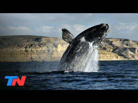 El show de las ballenas francas en Península Valdés