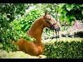 Dressage horse Small Tour Dressage Horse