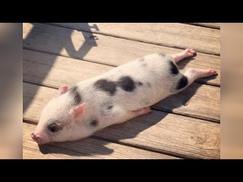 connectYoutube - Did you know that PIGS CAN BE SO FUNNY? - FUNNY PIG VIDEOS will make you DIE LAUGHING